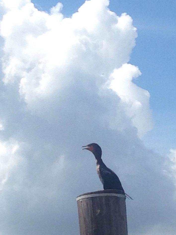 cumulous cloud and bird in Tampa